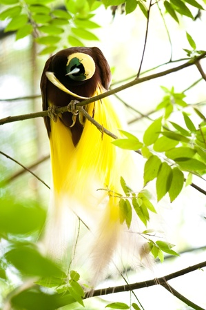 minor: Lesser Bird of Paradise or Paradisaea minor. One Of the most exotic birds in Papua New Guinea.