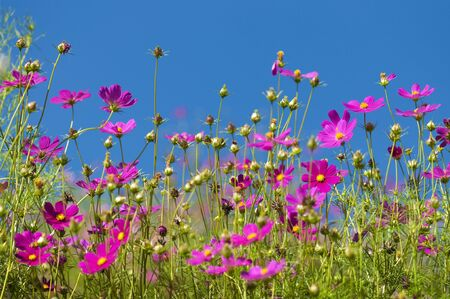 Cosmos Garden against blue sky photo