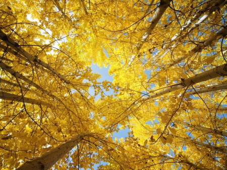 low perspective: Upward view of Fall Aspen Trees