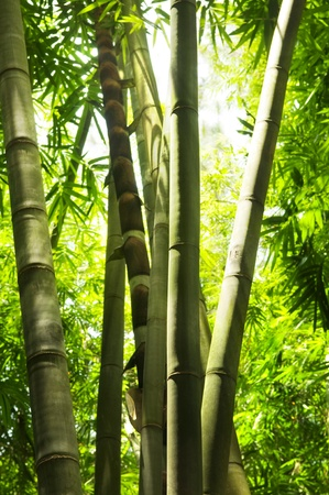 Asian Bamboo forest with morning sunlight. photo