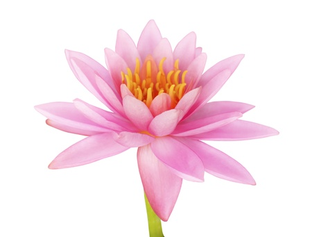 Pink lotus on white background Stock Photo