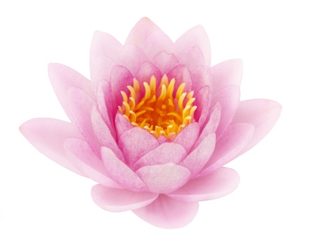 Pink lotus on white background photo