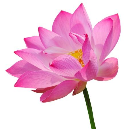 Loto rosa su sfondo bianco Archivio Fotografico - 10794852