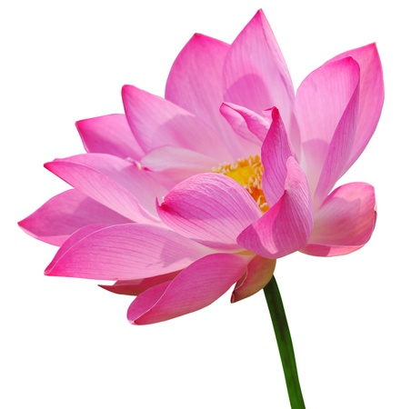 Pink lotus on white background Imagens