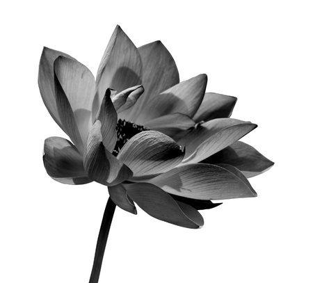 Black and white lotus on white background photo