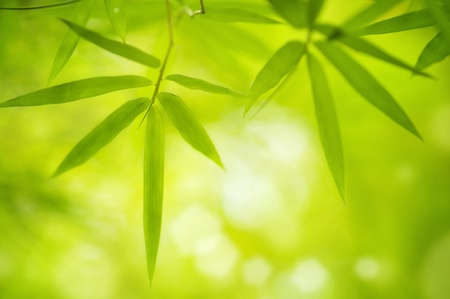 Close up bamboo leaves with copy space  photo