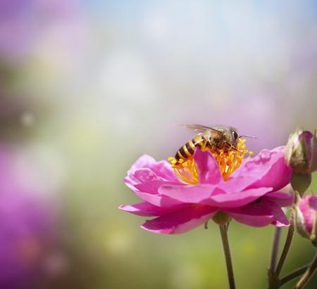 abeja: Cerca de recogida de la miel de abeja en la flor de color rosa Foto de archivo