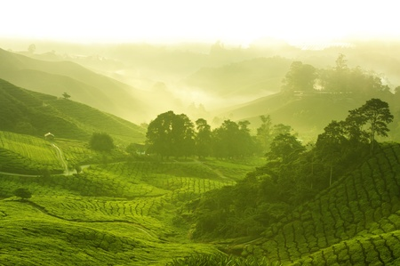 Tea plantation in  morning view, cameron highland malaysia Stock Photo