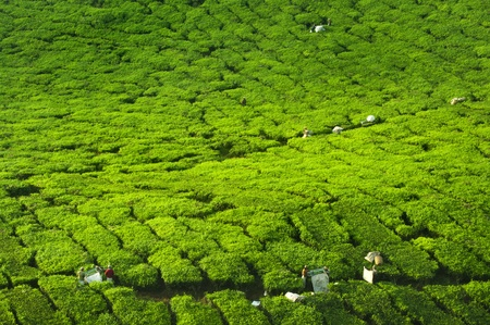 Worker harvesting tea in plantation, Cameron Highland, Malaysia photo