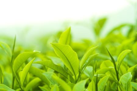 Gros plan feuilles de thé fraîches dans le soleil du matin.