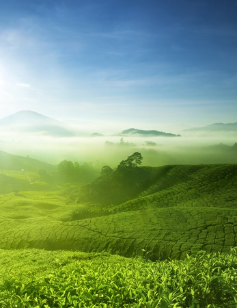 tea estates: Tea Farm landscape in Cameron Highland, Malaysia.