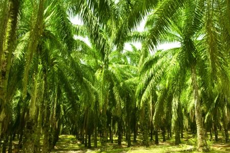 棕櫚油從中提取它的果實。果實轉紅成熟時。照片攝於棕櫚油種植園在馬來西亞,這也是世界上最大的棕櫚油出口國。