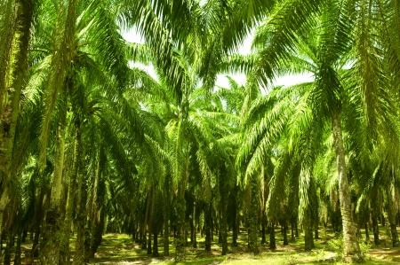 oil palm: Palm oil to be extracted from its fruits. Fruits turn red when ripe. Photo taken at palm oil plantation in Malaysia, which is also the world largest palm oil exporting country. Stock Photo