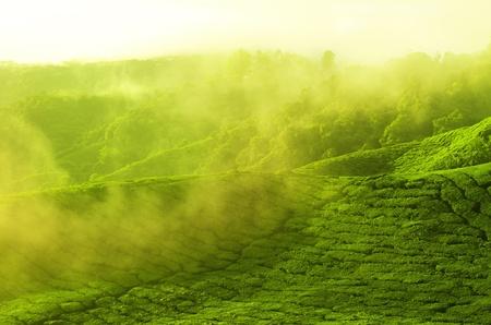 cameron: Sunrise view of tea plantation landscape at Cameron Highland, Malaysia.