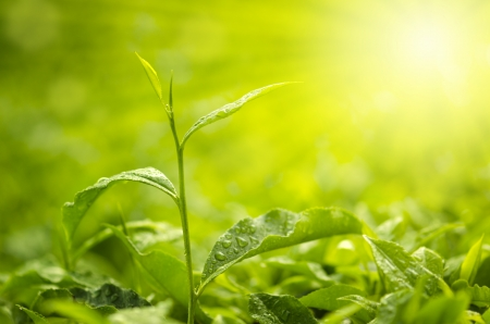 Tea Leaf with morning golden sunlight