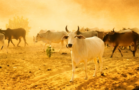 herder: Cows grazing in the desert of Rajasthan, India Stock Photo