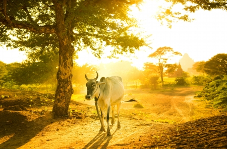 Single cow walking by in sunset Stock Photo - 16185094