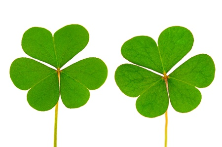 Three Leaf Clover on white background photo