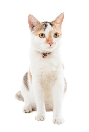 Malaysian short haired cat sitting on white background Stock Photo - 17008720