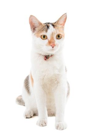 Malaysian short haired cat sitting on white background Stock Photo - 17008720