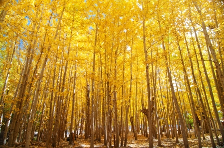 kashmir: Wide angle fall Aspen Trees , Leh District in the state of Jammu and Kashmir, India. Stock Photo