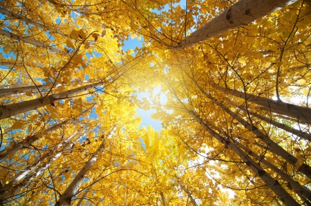 Upward view of Fall Aspen Trees , Leh District in the state of Jammu and Kashmir, India. photo