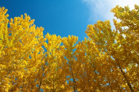 View of Fall Aspen Trees , Leh District in the state of Jammu and Kashmir, India. photo