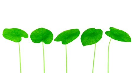 photosynthesis: Green yam leaf collection isolated on white background