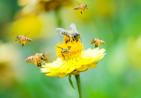 abeja: Cierre de grupo de abejas sobre una flor de la margarita