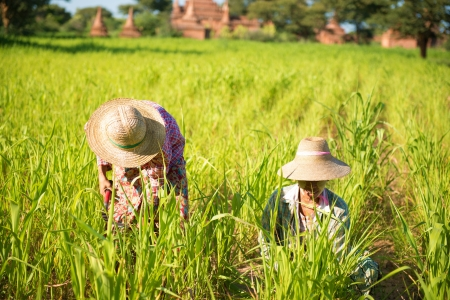 rice paddy: Traditional Asian farmers working in corn field