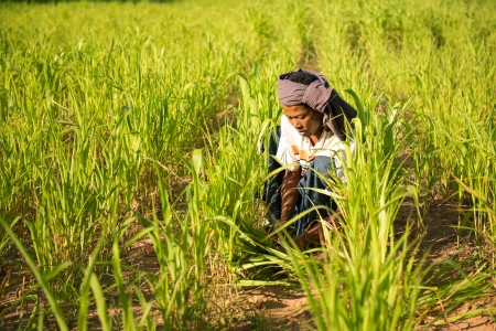 Traditional Asian male farmer working in corn field photo
