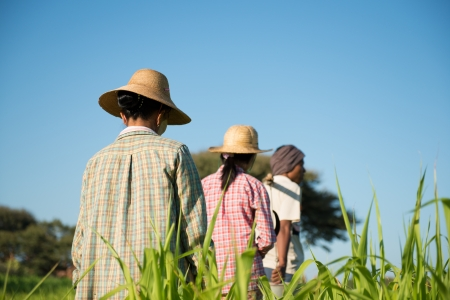 peasant: Rear view Group of Traditional Asian farmers working in paddy field