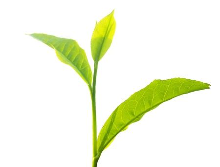 Tea tree: Close up tea leaves on white background Stock Photo