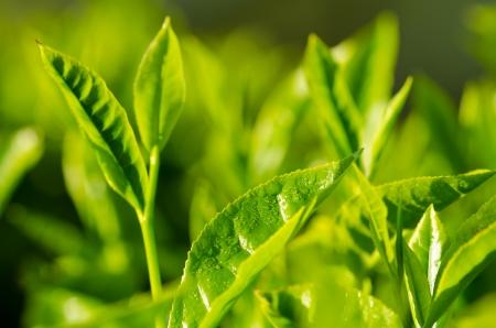 Tea plantation close up background after the rain. Fresh green tea leaf. photo