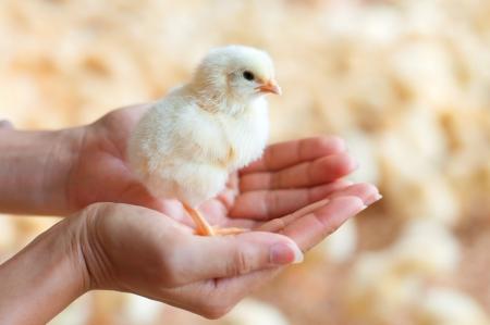 닭 농장에서 병아리 여성의 손을 잡고.