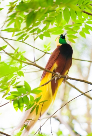 bird of paradise: Lesser Bird of Paradise or Paradisaea minor. One Of the most exotic birds in Papua New Guinea.