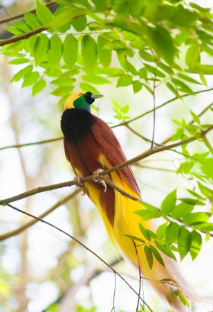 birds of paradise: Bird of paradise in the jungle. One Of the most exotic birds in Papua New Guinea. Stock Photo