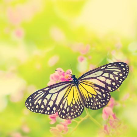 Butterfly. Parantica aspasia (Yellow Glassy Tiger) feeding on flower, retro effect. photo