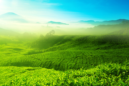 cameron highlands: Landscape view of tea plantation with blue sky in morning. Beautiful tea field Cameron Highlands in Malaysia.