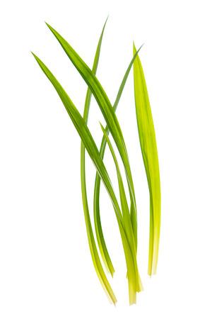 pandanus: Fresh Pandan leaves isolated on white background, also known as Pandanus Palm , Fragrant Pandan , Pandom wangi.(Pandanus amaryllifolius)