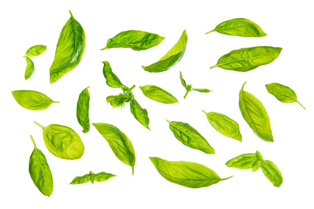 Overhead view scattered fresh sweet basil leaves, isolated on white background.