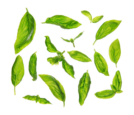 overhead view: Top view scattered fresh sweet basil leaves, isolated on white background.