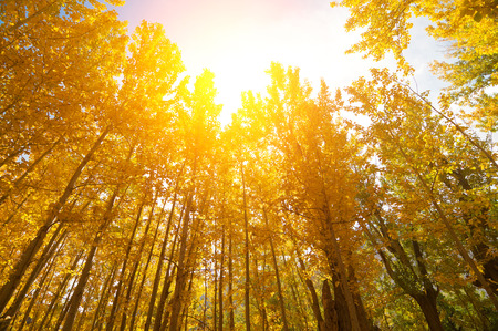 aspen leaf: Wide angle fall Aspen Trees with golden sunlight, Leh District in the state of Jammu and Kashmir, India.