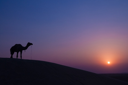camel silhouette: Desert landscape with camel at sunset in India desert.