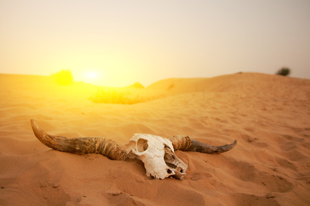 desert sun: Animal skull in the desert Stock Photo