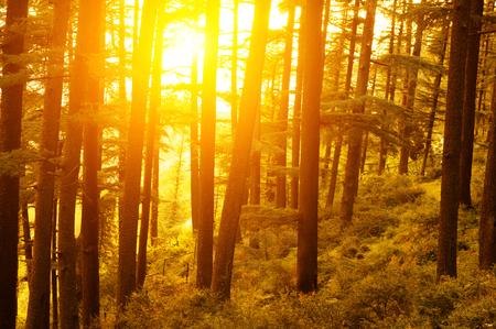 arbol de pino: Pinar con la última del sol brillando a través de los árboles.