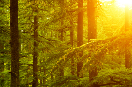 pine forest: Beautiful sunset in the woods during autumn, pine forest at Shimla, the capital city of Himachal Pradesh, India.
