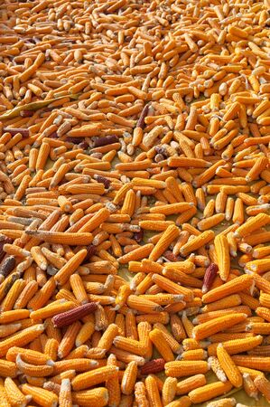 yellow corn: Yellow dried corn background.