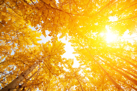 aspen leaf: Fall Aspen Trees from low angle view with golden sunlight, Leh District in the state of Jammu and Kashmir, India.