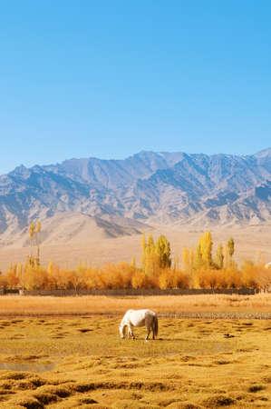 ladakh: Horse eating grass at Holy Fish Pond, Shey Monastery, Leh Ladakh, India. Stock Photo